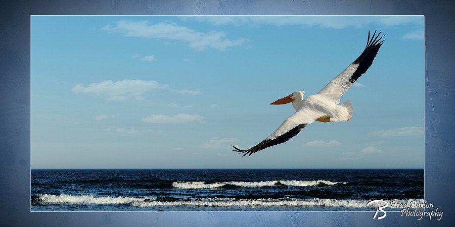 White Pelican Photography