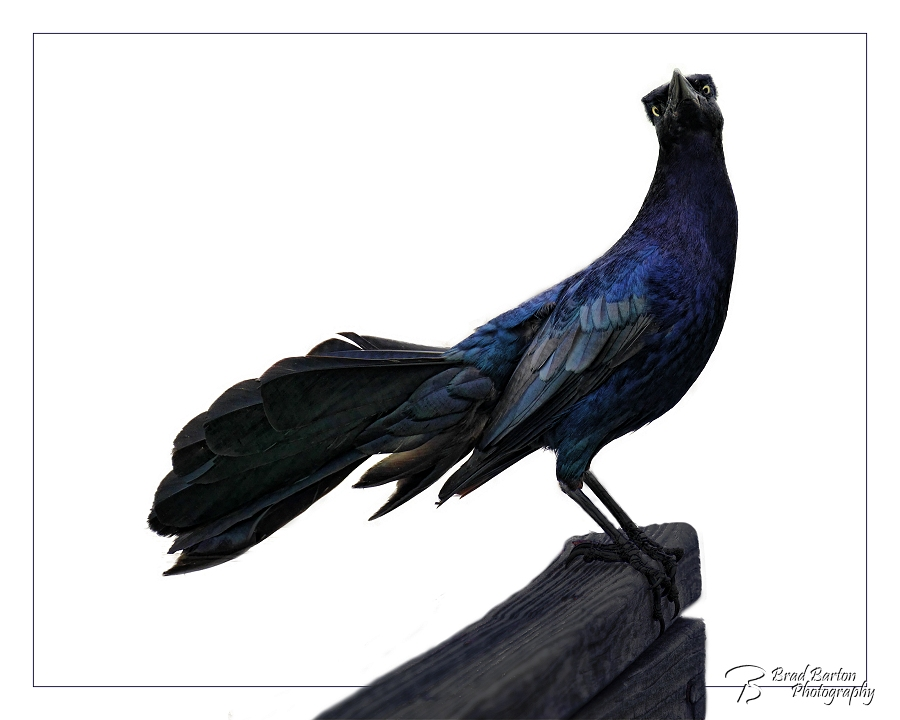 Condescending Grackle