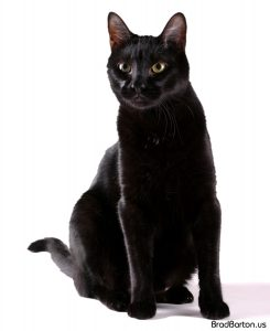 Arlington Pet Cat Photographer - Bagheera 23189